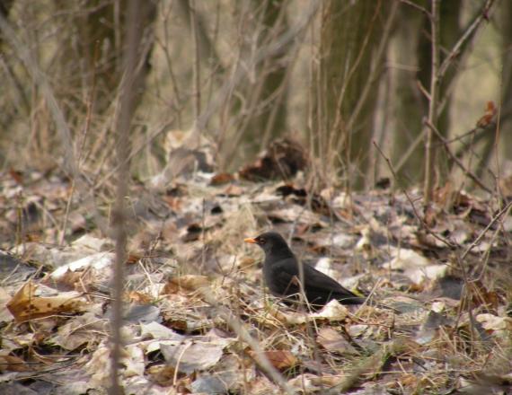 Nuotraukoje - vidutinio dydžio juodas su gelsvu snapu paukštis. Tai juodasis strazdas. Jis tupi ant žemės, aplinkui seni, nukritę medžių lapai. Fone - medžių kamienai.